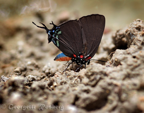 purple hairstreak copy